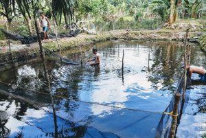 Bantuan Dinas Perikanan Banyuasin, Budidayakan Ikan Nila di Desa Meranti