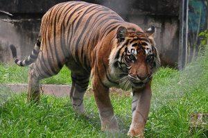Naas Pemuda Di Jambi Diterkam Harimau Sumatera