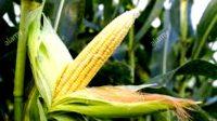 Butuh Jagung 25 Ribu Ton Per Bulan, Agro Jabar Lirik Jagung Banyuasin