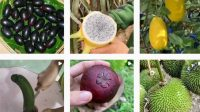 Indonesian word for fruit and vegetable